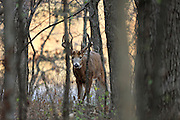 Whitetail buck in fall habitat