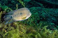 Texas Cichlid, Underwater
