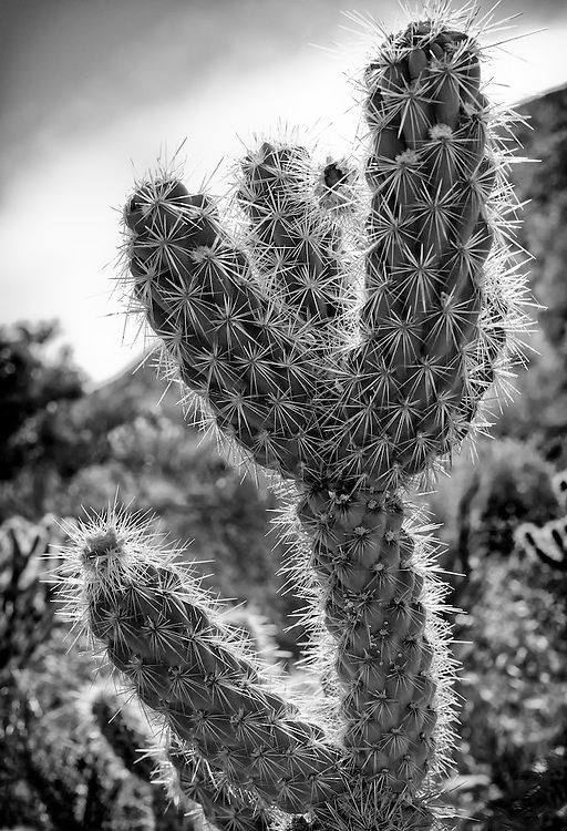 Desert catus in Southern California Palm Springs area. Black and White.