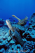 green sea turtles, Chelonia mydas, Turtle Pinnacles, Kaloko Honokohau, Kona, Hawaii, United States ( Central Pacific Ocean )