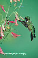 01162-054.17 Ruby-throated Hummingbird (Archilochus colubris) male on Penstemon (Penstemon barbatus) Shelby Co.  IL