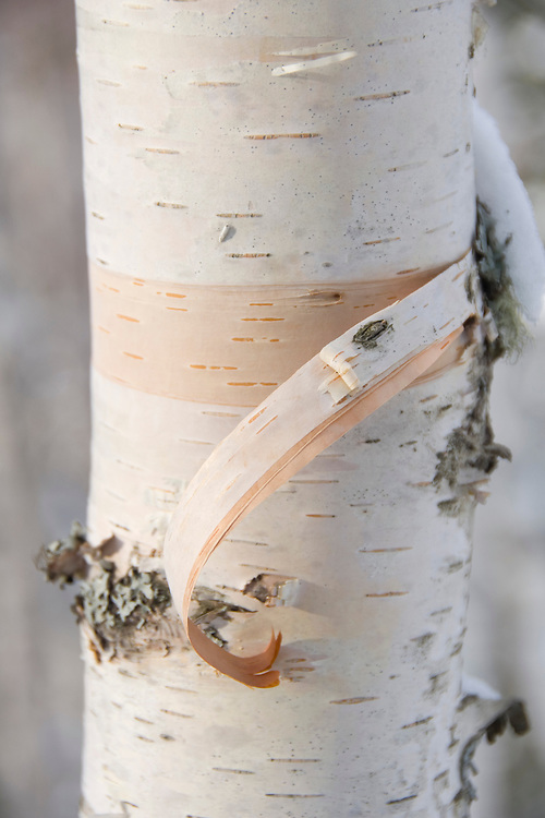 White birch trees with snow in winter on the Keweenaw Peninsula in Michigans Upper Peninsula.