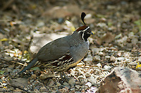 Gambel?s quail, Callipepla gambelii. Arizona-Sonora Desert Museum, Tucson, Arizona