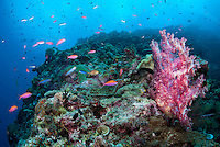 Anthias and Soft Corals<br /> <br /> shot in Indonesia