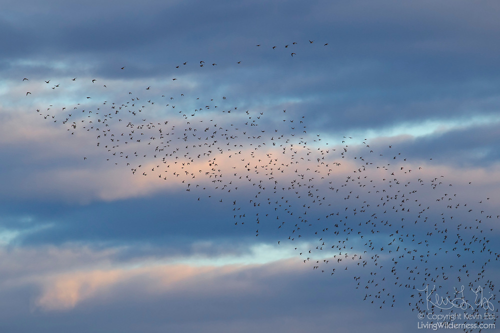 A large flock of least sandpipers (Calidris minutilla) flies over the Skagit Bay near La Conner, Washington. The least sandpiper is the world's smallest sandpiper and is typically found on vegetation in mudflats.