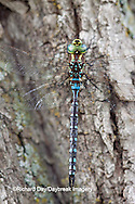 06347-001.08 Lance-tipped Darner dragonfly (Aeshna constricta) male on tree, McHenry Co,. IL
