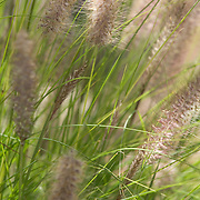 Detail shot of pampas grass, backlit in University Heights alley.