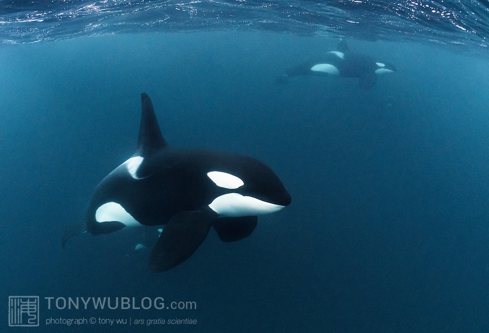 Mature male orca (Orcinus orca) in the foreground, with other mature males visible in the background. Pairs and small groups of mature males were common in this area of Norway, swimming apart from their larger social units. Mature males are easily recognizable by their prominent dorsal fins.