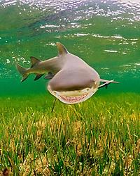 lemon shark, Negaprion brevirostris, Little Card Sound, Biscayne Bay, Key Largo, Florida, Atlantic Ocean