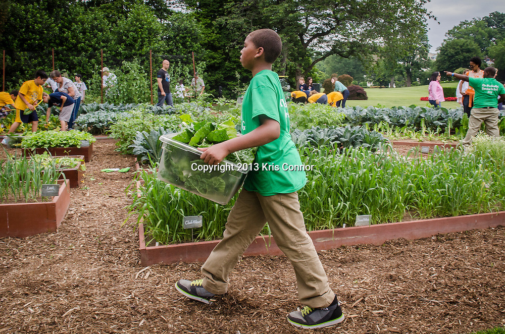 Jordon Wilson of Sarah Moore Greene Magnet Technology Academy School, Knox County, TN  harvest vegetables during an event where with fellow students and the First Lady Michelle Obama harvested the White House Kitchen Garden for the fifth year in a row at the White House on May 28, 2013 in Washington DC. Photo by Kris Connor