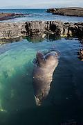 Galapagos Male Bull Sealion (Zalophus wollebaeki)<br /> Puerto Egas<br /> Santiago<br /> GALAPAGOS<br /> Ecuador, South America