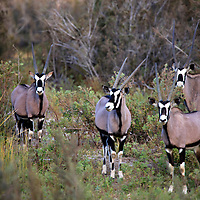 Africa, Namibia, Puros. Gemsbok, close relative of the Oryx.