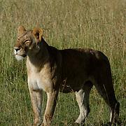 African Lion (Panthera leo) Female standing. Masai Mara National Park. Kenya. Africa.