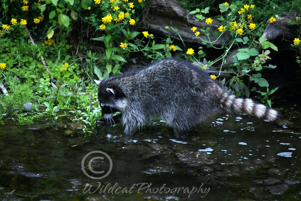 Raccoon fishing.