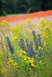 Viper's Bugloss, corn poppies and Perforate St. John's Wort at Ranscombe Farm Nature Reserve, Kent. Echium vulgare, Papaver rhoeas, Hypericum perforatum