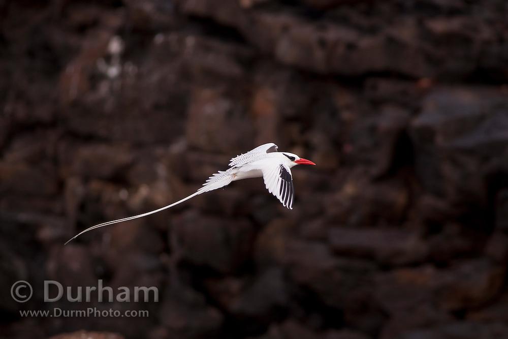 The red-billed tropicbird (Phaethon aethereus) in flight off the coast of Genovesa Island, Galapagos Archipelago - Ecuador.