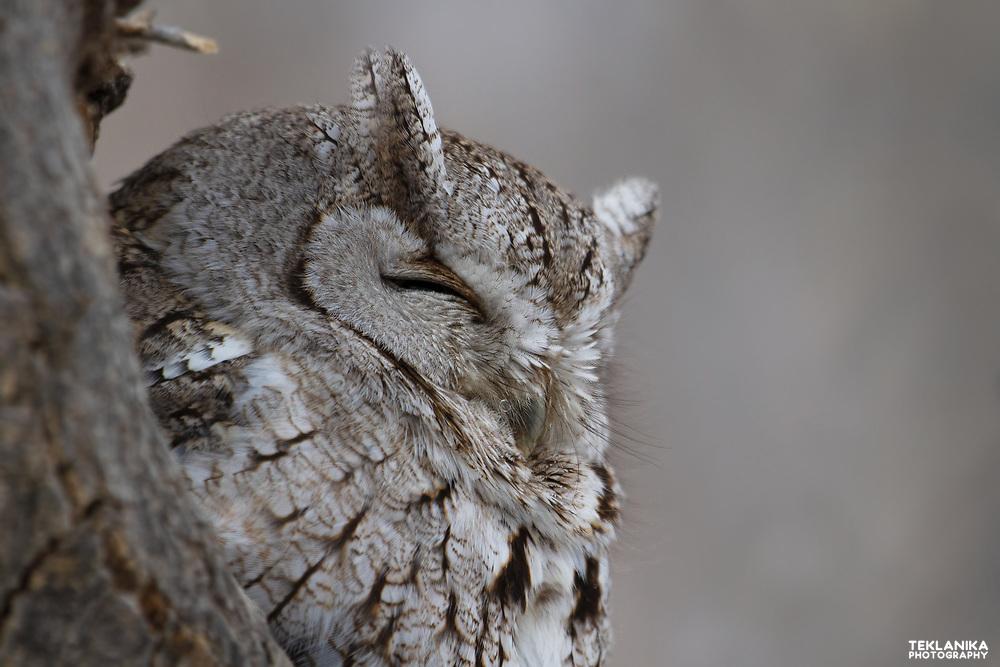 Portrait of a Western Screech-Owl perched in a tree in Colorado.