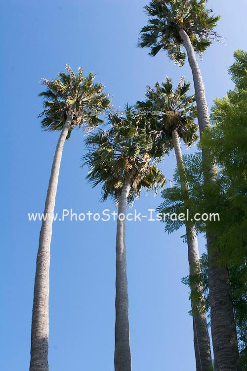 mature Washingtonia filifera aka California fan palms