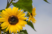 Close-up of honeybees on a sunflower