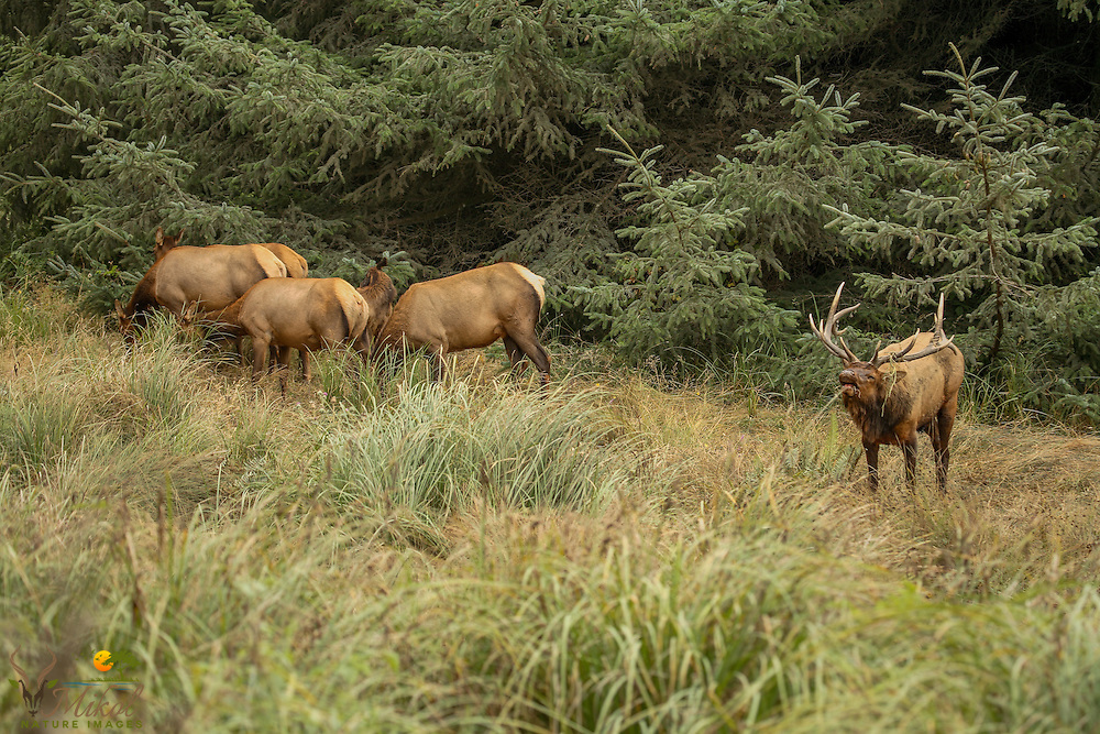 Bull Elk Bugling and guarding cow elk harem