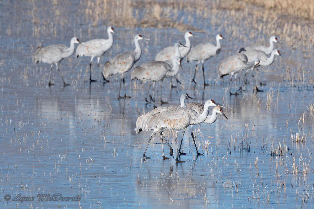 On the cold morning, as the Sandhill Cranes moved to the fields to forage, they were unsuccessful taking off from the ice so started walking over the ice to the fields instead.
