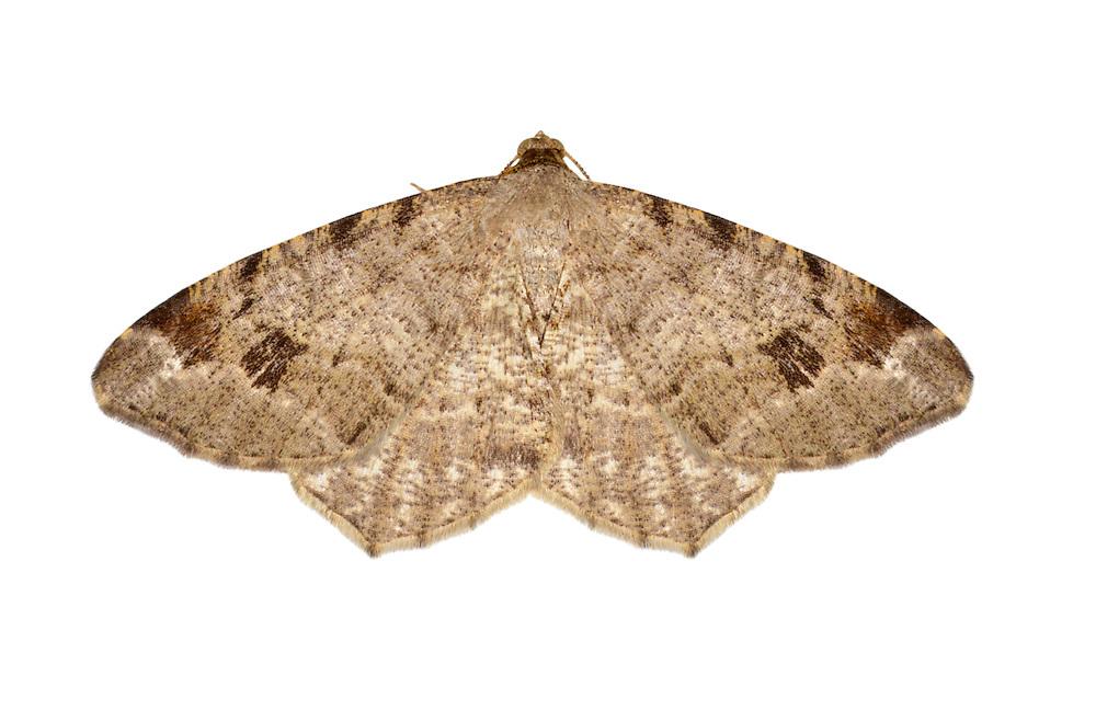 70.213 (1891)<br /> Dusky Peacock - Macaria signaria
