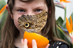 © Licensed to London News Pictures. 31/03/2015. London, UK. A young girl holds an owl butterfly at the Sensational Butterflies exhibition at the Natural History Museum in London. The Sensational butterflies exhibition runs at the Natural History Museum in London from 2 April 2015 to 13 September 2015. Photo credit : Vickie Flores/LNP