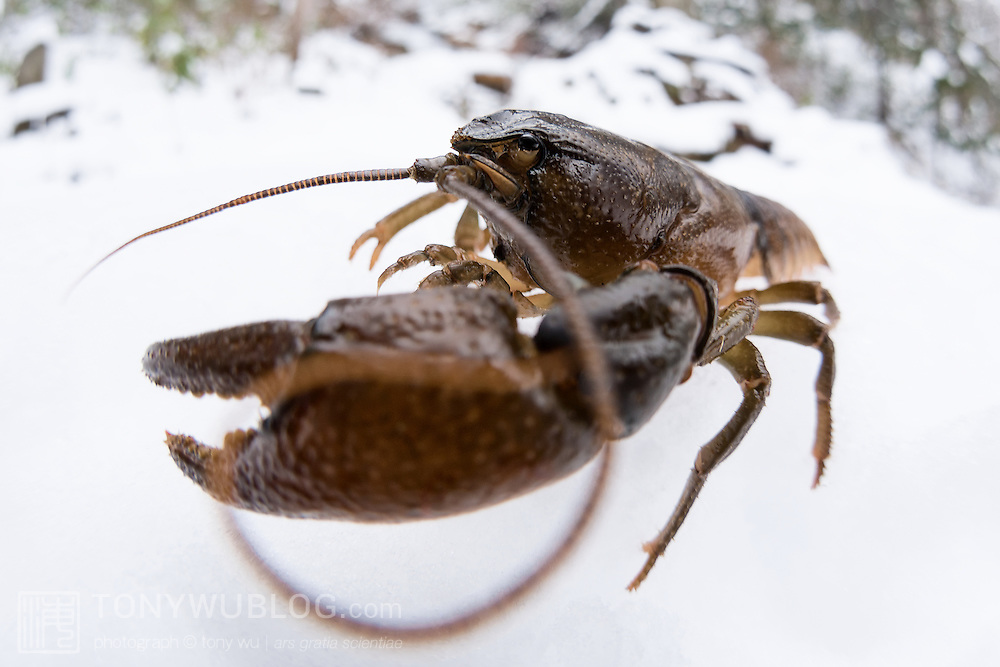 This species of crayfish, known as zarigani (Cambaroides japonicus) is endemic to Japan, living in Hokkaido and northern Honshu. They live in areas of low temperature with high water purity. This individual was missing its right front claw.