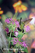 01162-05710 Ruby-throated Hummingbird (Archilochus colubris) female at Bee Balm(Monarda sp.) Shelby Co. IL