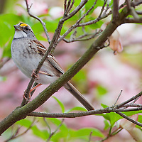 The White-throated Sparrow is a large, full-bodied sparrow with a fairly prominent bill, rounded head, long legs, and long, narrow tail.  This one photographed at a back yard feeder