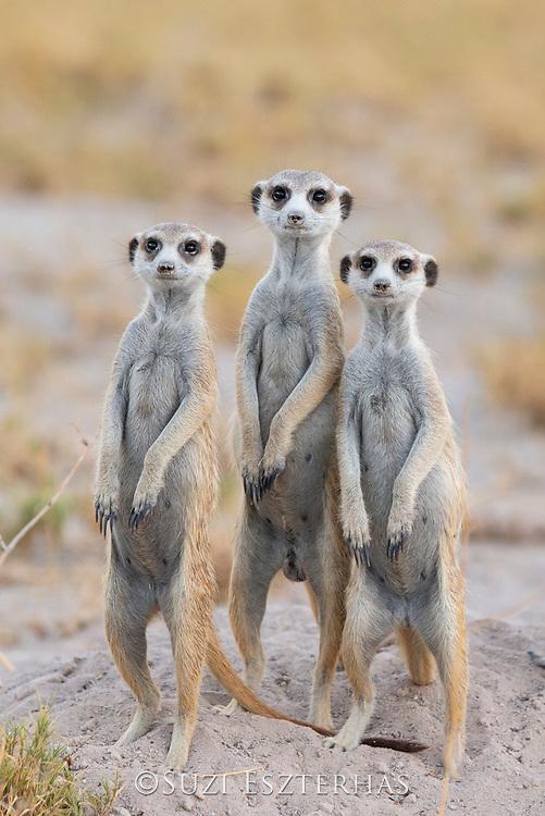 Meerkat<br /> Suricata suricatta<br /> Looking out over plains<br /> Makgadikgadi Pans, Botswana