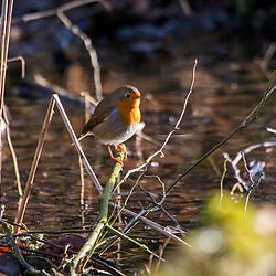 """Pisco-de-peito-ruivo (Erithacus rubecula) fotografado na Alemanha, na Unição Européia - Europa. Registro feito em 2016.<br /> ⠀<br /> <br /> ENGLISH: European Robin photographed in Germany, in European Union - Europe. Picture made in 2016."""