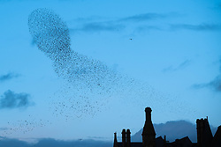 Licensed to London News Pictures. 10/02/2019. Aberystwyth,UK.At sunset on a windy evening as Storm Erik finally blows itself out, huge flocks of tens  of thousands of  starlings (known as  'adar yr eira' - 'snow birds' in the welsh language)  perform their spectacular 'murmurations' in the sky as they return from their daily feeding grounds to roost for the night on the forest  of cast iron legs underneath  Aberystwyth's Victorian seaside pier. The west coast town  is one of the few urban roosts in the country and draws people from all over the UK to witness the spectacular nightly displays between October and March.<br /> Photo credit: Keith Morris/LNP