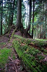 Nurse Log and Trees, Jones Island, San Juan Islands, Washington, US