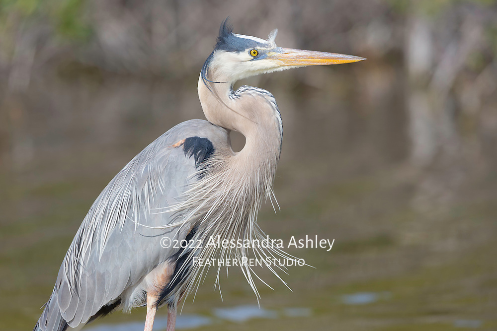 Great blue heron, Ardea herodias, in breeding plumage enjoys afternoon sunshine and breezes at Little Estero Critical Wildlife Area, Fort Myers Beach, FL.
