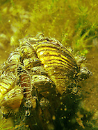 Zebra Mussels attached to the shell of a native mussel<br />