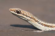 Common Big Eyed Snake, Mimophis mahfalensis, Ifaty, Madagascar, Colubrid, on beach