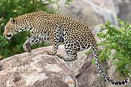 An adult female leopard (Panthera pardus) from the Mala Mala Private Game Reserve, South Africa<br /> <br /> Weiblicher Leopard (Panthera pardus) aus dem Mala Mala Private Game Reserve im Westen des Krueger Nationalparks zu Beginn der Regenzeit im November
