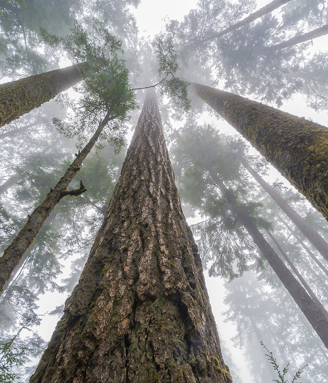 Old growth forest canopy in fog, Douglas-fir (Pseudotsuga menziesii), June, Olympic National Park, Washington, USA