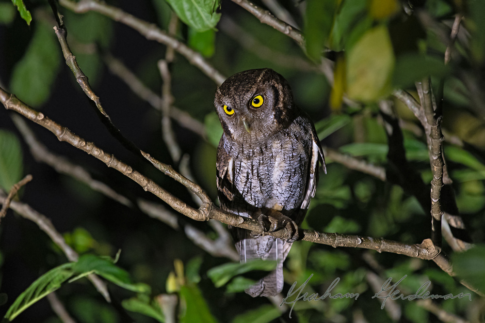 Tropical Screech Owl in Costa Rica. <br /> <br /> Image taken with slow shutter speed (1/60 sec) and illuminated by flashlight. Not flashed.