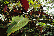 """Miconia, an invasive weed, has taken over large sections of mountainous forest near Hana on Maui. These plants """"escaped"""" from a nursery where they were sold as ornamental landscaping plants. Near Hana, Maui, Hawaii. USA."""