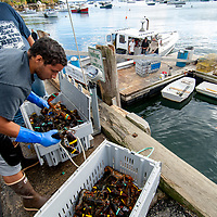 Lobster fisherman separates and counts the day's catch dockside of Rockport Harbor, Maine.