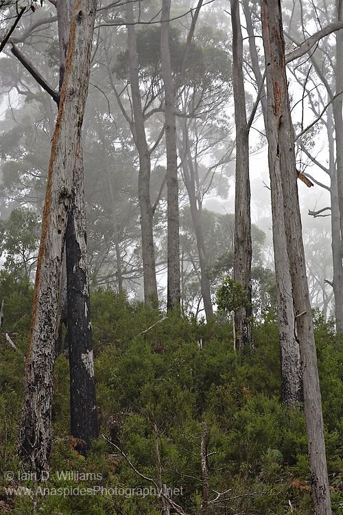 Fog in Eucalyptus Grove, Tasmania