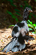 Ipaba_MG, Brasil...RRPN (Reserva Particular do Patrimonio Natural) no qual possui o Projeto Mutum que reintroduz diversas aves nativas da Mata Atlantica e ameacadas de extincao como o Mutum do Sudeste (Crax blumenbachii) em Ibapa, Minas Gerais...PRNH (Private Reserve of Natural Heritage) in which the Project has Mutum reintroducing various natives birds in the Mata Atlantica and endangered species such as the Red-billed Curassow (Crax blumenbachii) in Ibapa, Minas Gerais...Foto: JOAO MARCOS ROSA / NITRO