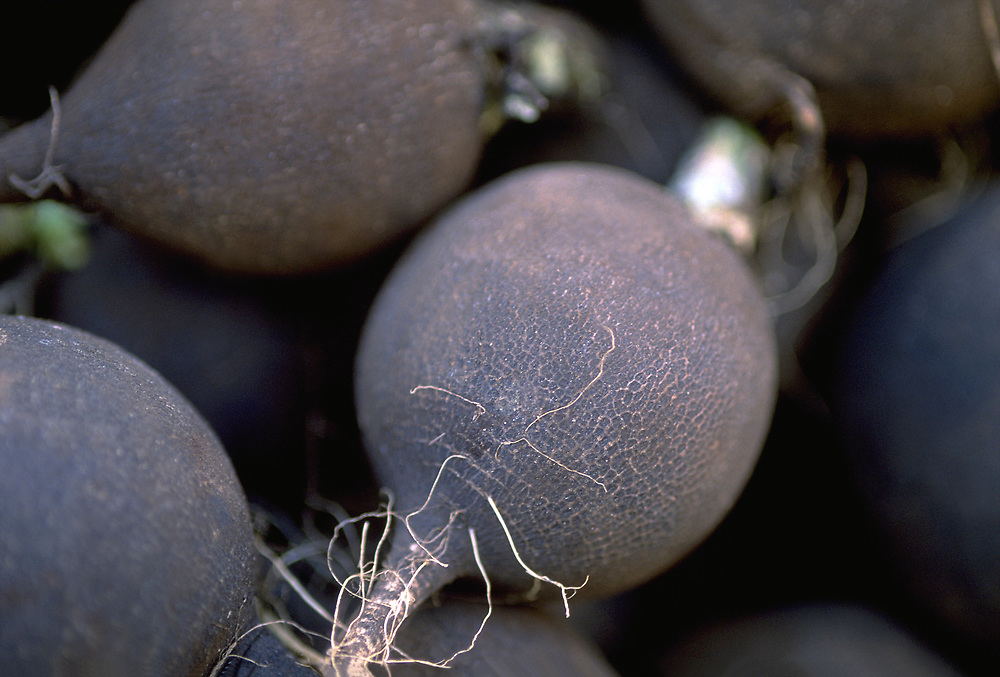 Close up selective focus photograph of a group of Black Radishes