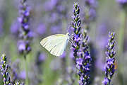 Cabbage White (Pieris brassicae) Butterfly rests on a flowering Lavender bush. Photographed in the Golan Heights, Israel