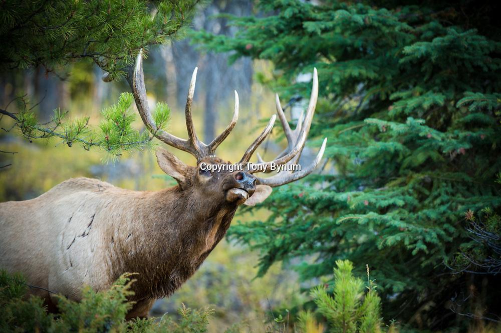 colorful trees bull elk