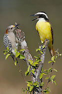 Great Kiskadee - Pitangus sulphuratus) and female Golden-fronted Woodpecker - Melanerpes aurifrons