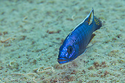 A male Electric Blue Hap, Sciaenochromis fryeri, hunts in the shallows of Masimbwe Island, Lake Malawi, Malawi.