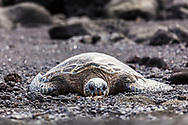 Green Sea Turtle at  Punalu u Beach on the Big Island of Hawaii.